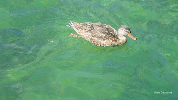 L'un des nombreux habitants du Lac Léman